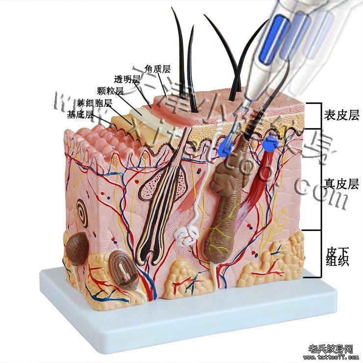 皮肤皮下组织结构图
